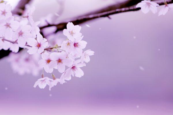 桜の花と不安障害